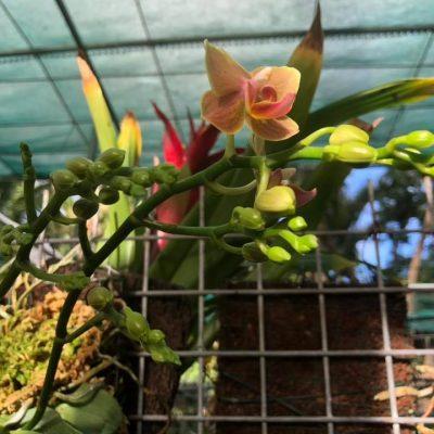 Pépinière Pinoy Orchidées